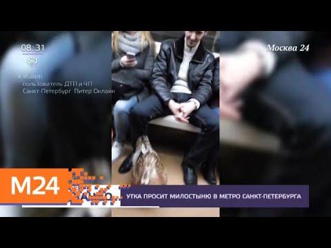Утка-попрошайка появилась в метро Санкт-Петербурга - Москва 24
