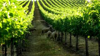 Lamb In The Vineyards: The Benefits Of Targeted Grazing