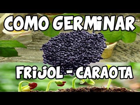 Germinar Frijol Caraotas de Manera Rapida/Del Semillero al Trasplante  La Terraza de Jose