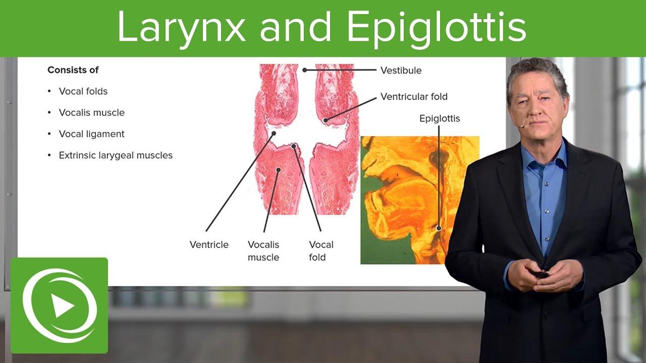 Larynx and Epiglottis – Respiratory Histology | Lecturio