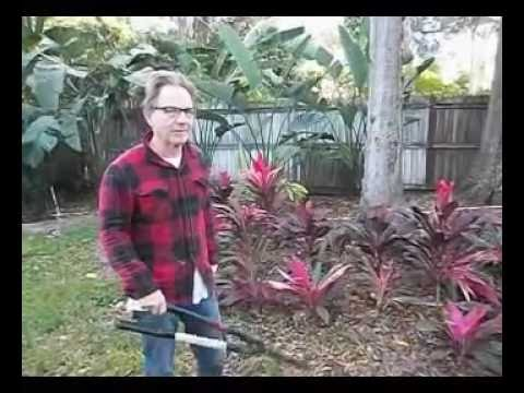How to get yourself some FREE Hawaiian Ti plants
