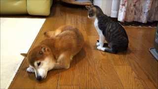 柴犬にそっと毛づくろいをする猫 thumbnail