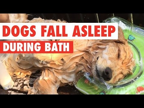 Golden Retrievers Falls Asleep While Getting A Bath