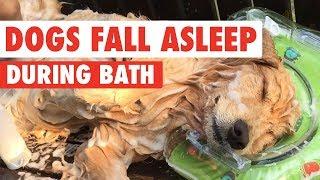 Golden Retrievers Falls Asleep While Getting A Bath