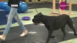 Намордник и совок с пакетом - новые правила выгула собак в Алматы  (23.04.18)