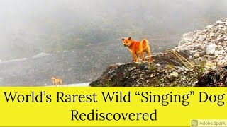 World's Rarest Wild 'Singing' Dog, thought to be extinct in wild for 50 years, Reemerged!