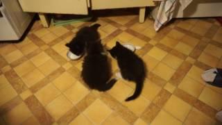 Котята лакают сливки
