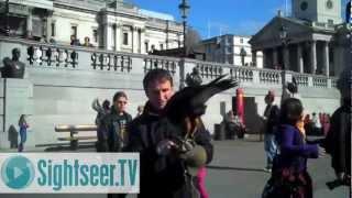Pest Control in Trafalgar Square - Harris Hawks