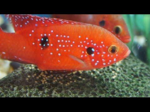 Two female Red Jewel cichlids spawning (Hemichromis lifalili)