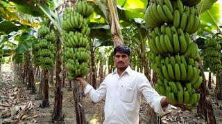 Sandip Jadhav | Banana | केळी लागवड उत्पादन | Patil Biotech