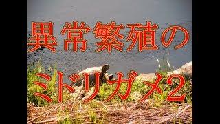 【要注意】異常繁殖のミドリガメ2(ミシシッピアカミミガメ)特定外来生物!!