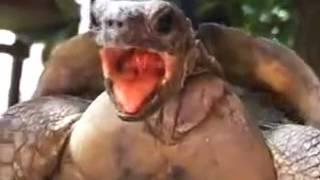 turtle making love