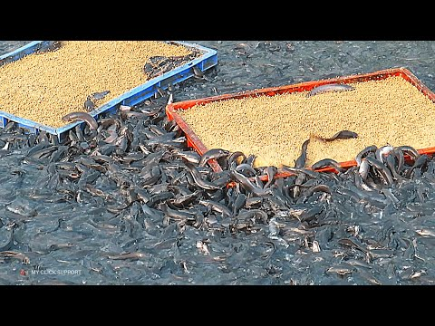 Catfish Farming In Concrete Cement Tank In Asia | Million Baby Catfish Eating Fish Feed