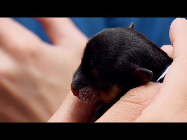 Attempting to Feed a Three-Day Old Puppy with Cleft Palate