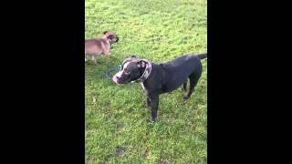 Staffy X British Bulldog 9 Month Funny Rope Fight!