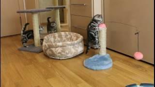 Британские котята 1,5 месяца игруны и шалуны