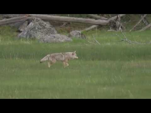 Coyote in Yellowstone National Park.