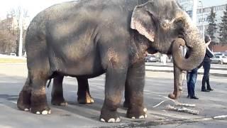 Слоны на улице в Кемерове
