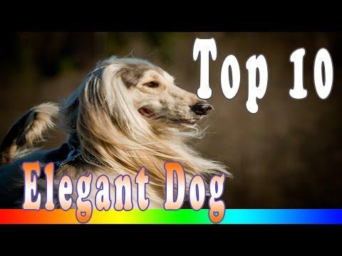 Most Beautiful Dog - The 10 Most Elegant Dog Breeds