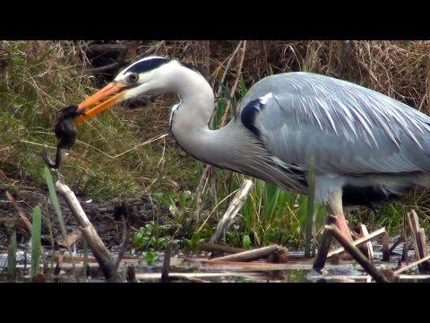 Return of the Hackney Frog Killer - Heron VS Frogs - London
