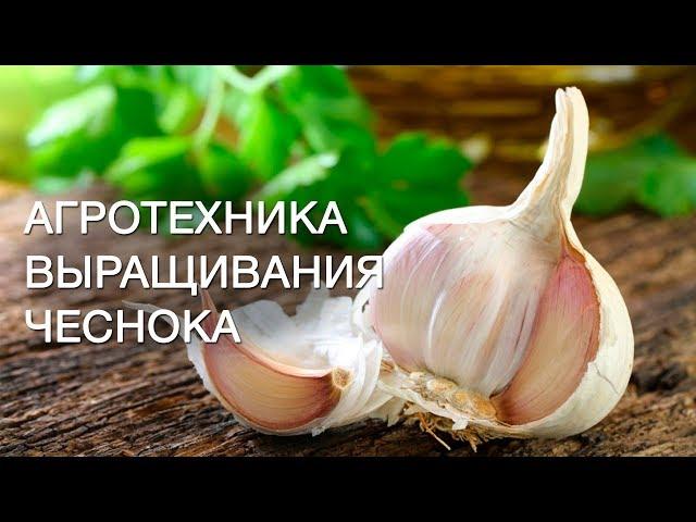 расчет бизнеса по выращиванию чеснока каждый раз