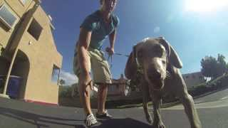 Weimaraner Puppy Learns To Skateboard