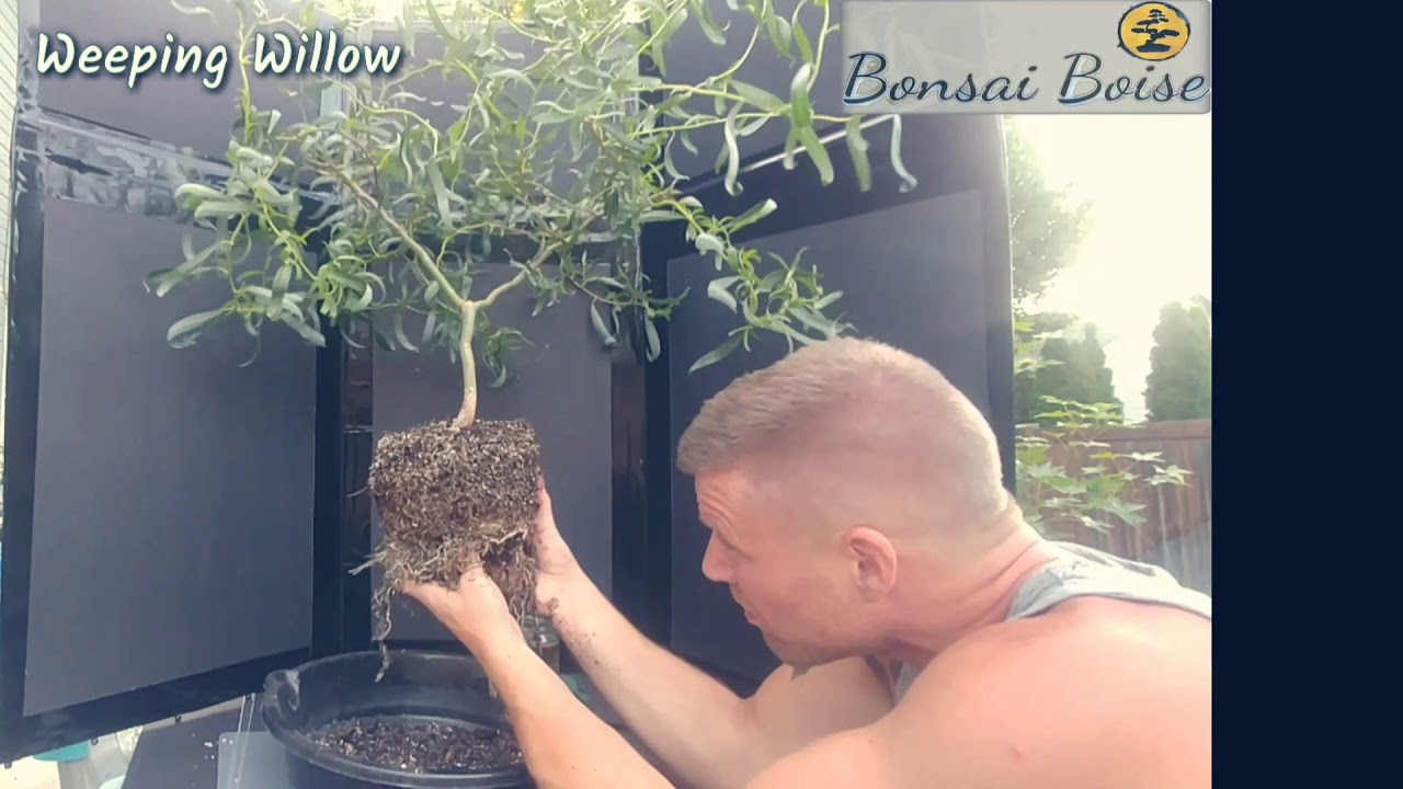 Weeping Willow Re Potting Wiring Some Branches Youtube