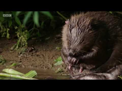 The Beavers of the River Otter