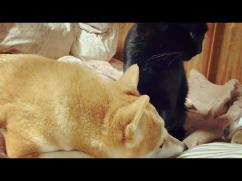 猫耳の素晴らしさを知る柴犬の葛藤 Dog licking cat