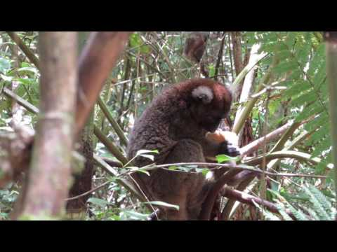 Great bamboo Lemur