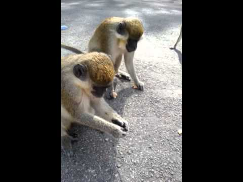 Feeding the monkeys - dania beach florida