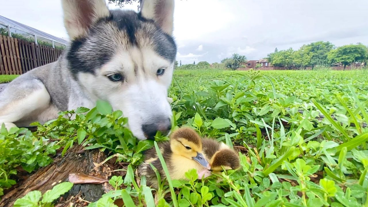 Husky Meets Baby Ducklings For The First Time! (Best Friends!)