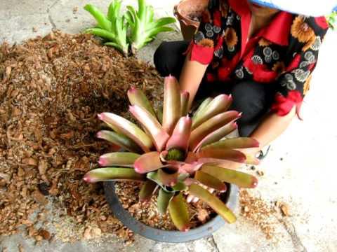 เปลี่ยนดินต้นสับปะรดสี-Bromeliad Nursing