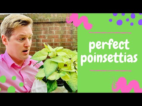 How To Care For Poinsettias Summer Tips Youtube