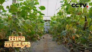 《田间示范秀》 20200528 转变思路种黄瓜|CCTV农业
