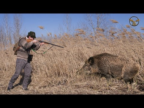Excellent hunting for wild boar  collection of good shots