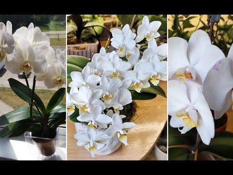 Белоснежное домашнее цветение орхидей, relax. 🕊️