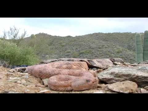 Arizona Speckled Rattlesnakes all over the Area.