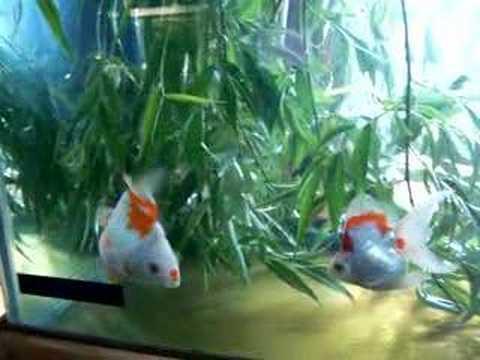 Ryukin spawning