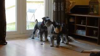 Mini Schnauzers Barking High Pitched