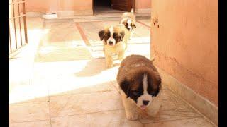 Saint Bernard Puppies | Transformation Video | Cutest