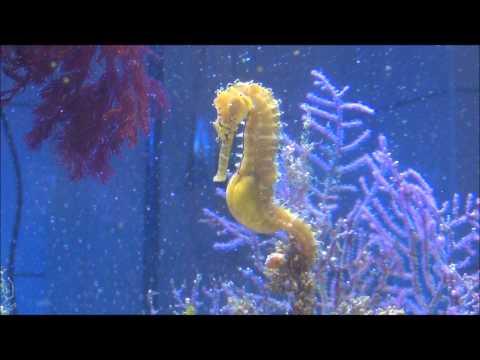 Seahorse Giving Birth