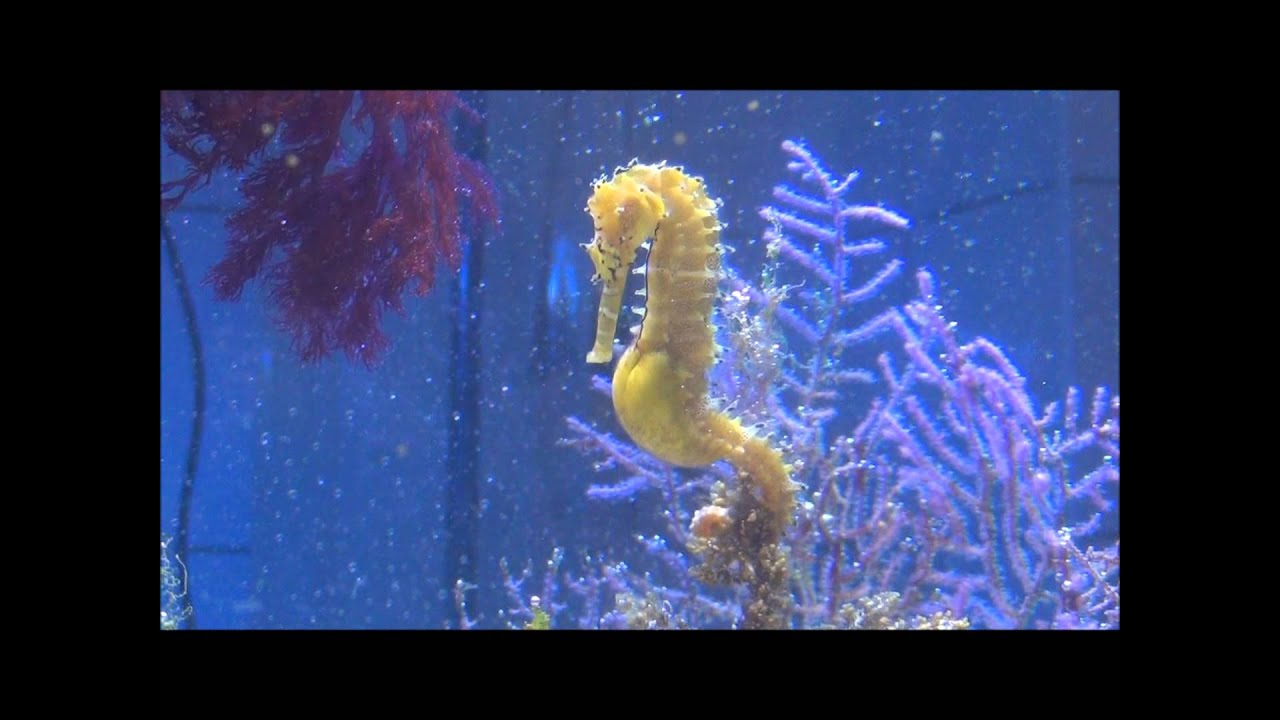 Seahorse giving birth youtube ccuart Image collections