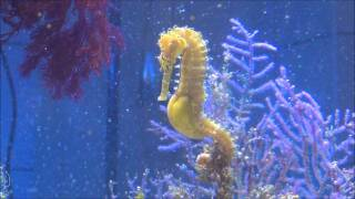 Seahorse Giving Birth