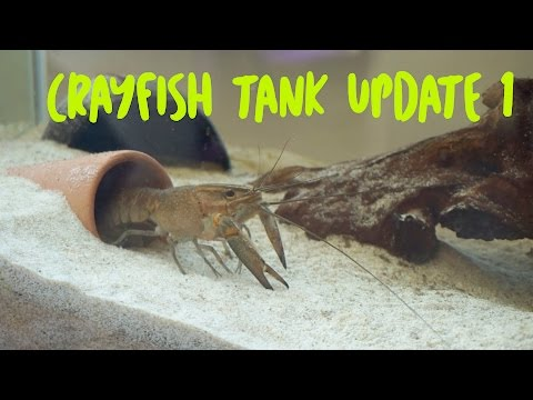 Crayfish Tank Update 1
