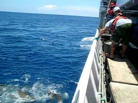 Galapagos Shark Feeding Frenzy
