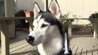 Siberian Husky Grooming Session.