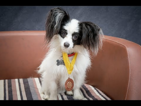 Sparky - Papillon - 2 Weeks Residential Dog Training