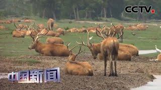 [中国新闻] 江苏大丰麋鹿保护区种群数量达5681头 | CCTV中文国际