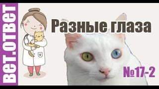 У кошки разные глаза, опасно? Ветответ